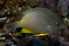 Yellowbelly Damselfish (Amblyglyphidodon leucogaster)