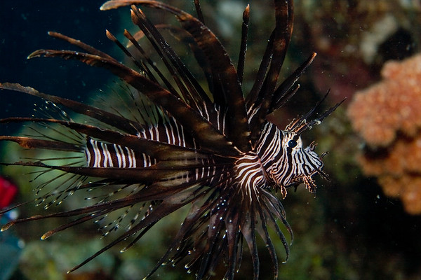 Lionfish (not sure which species yet)