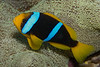 Orangefin Anemonefish (Amphiprion chrysopterus)