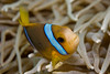 Orangefin Anemonefish (Amphiprion chrysopterus)<br /> *Limited Print*