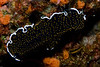 Flatworm (Thysanozoon sp.)