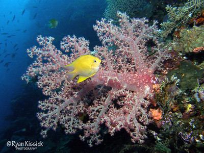 Soft coral and golden damselfish