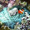Anemone fish.