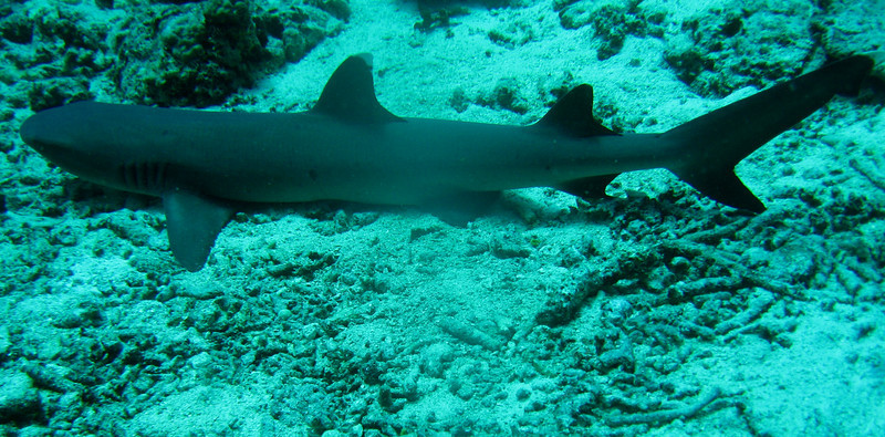 Gray reef shark.  I started to ride it, but Gilda talked me out of it!