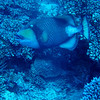 Titan trigger fish.  When guarding eggs they are VERY aggressive, even toward divers.  One chased Leo away from it's nest.  They have nasty teeth!