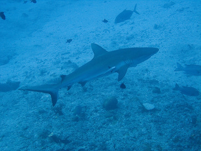 Grey reef shark and remorra