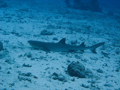 Whitetip reef shark snoozing among the garden eels