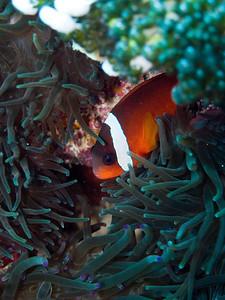 Fiji anemonefish.