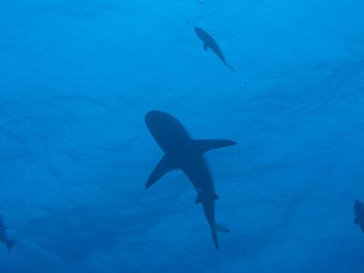My friend the shark...