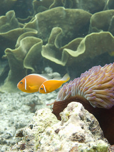 More anemone fish, in front of cabbage coral.  The anemone fish seemed to have a blast swimming against the current.