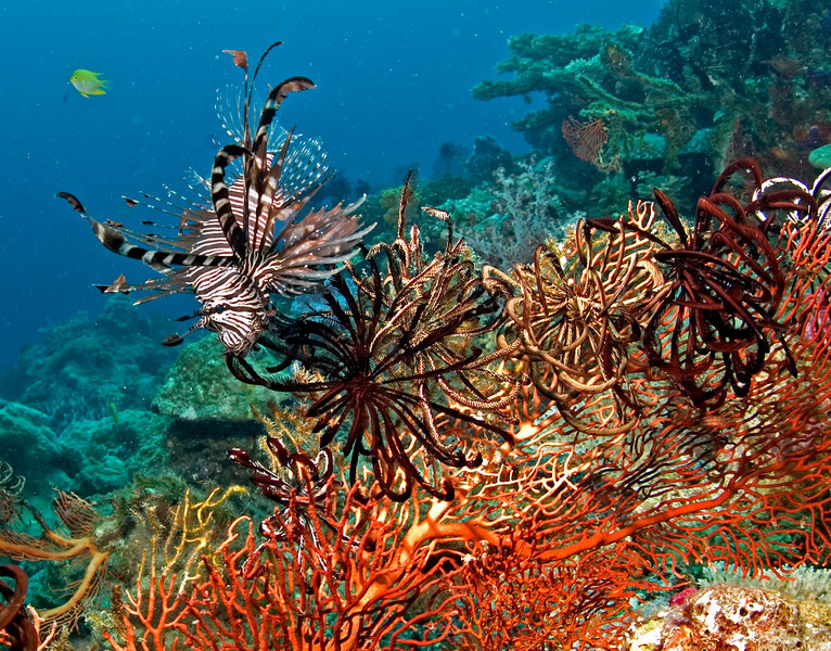 Lionfish on crinoids