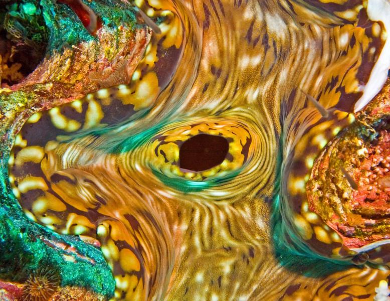 Giant clam macro