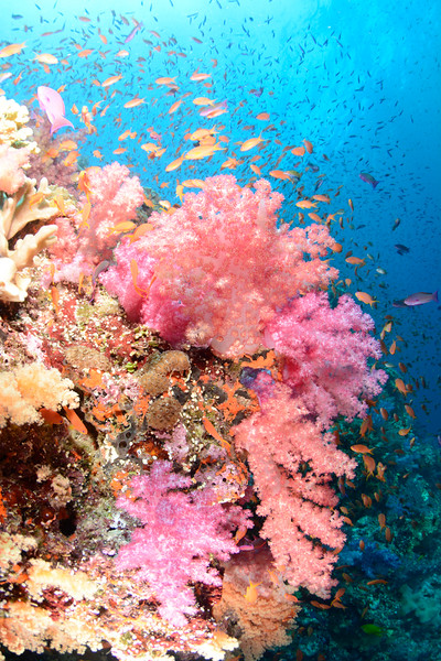 Soft corals and anthias