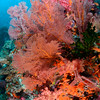 Soft corals and sea fans