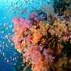 Anthias circling above a soft coral display