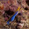 Blue ribbon eel
