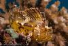 Leaf lionfish