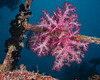 Soft Coral hanging on a Wreck