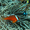 Red and Black Anemonefish with Three-spot Dascyllus
