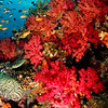 Red soft corals and anthias, Rainbow Reef, Fiji.