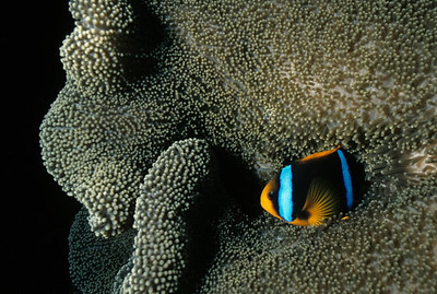 An Orange-finned Anemonefish nestles in the stinging tentacles of its host Anemone. A mucus membrane on the skin of the Anemonefish offers protection from getting stung.