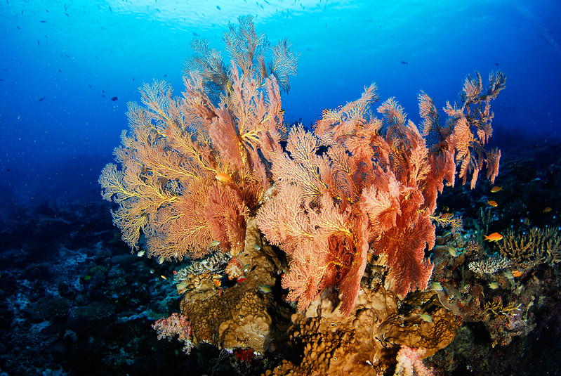 Small sea fan, Fiji.