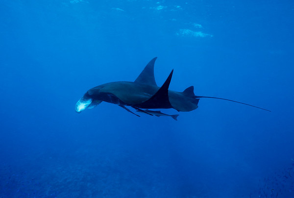 A graceful Manta Ray is accompanied by several remoras hitching a ride.