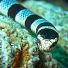 Banded Sea Snake - Venomous