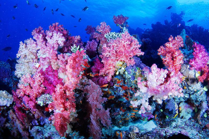 Purple coral display on Rainbow Reef, Fiji.