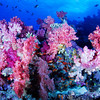 Purple coral display on Rainbow Reef, Fiji.
