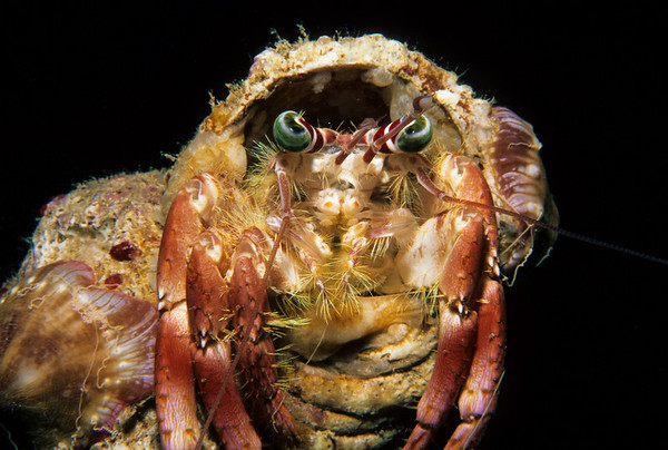 A Hermit Crab peers from the confines of its cone shell home.
