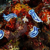 Nudibranch dance