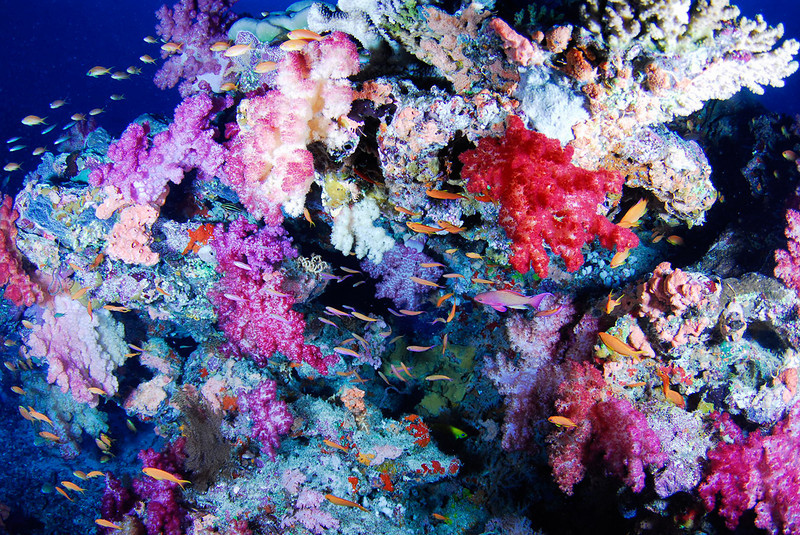 Soft corals and reef fish, Rainbow Reef, Fiji.