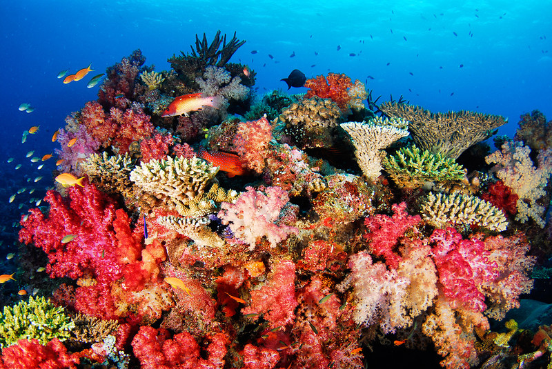Soft corals on a small bommie, Rainbow Reef.