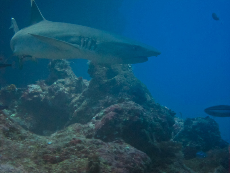 White Tip is checking out the photographer<br /> Fiji UW-0337-2