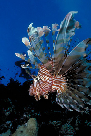 Common Lionfish, Fiji