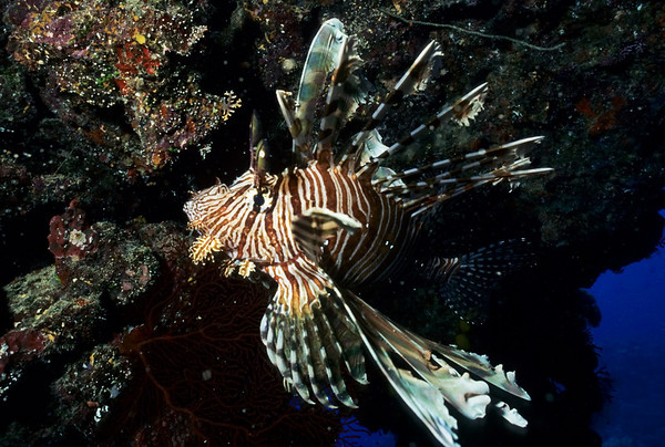 The Common Lionfish has venomous dorsal and pectoral spines that can deliver an extremely painful sting to the unwary diver.