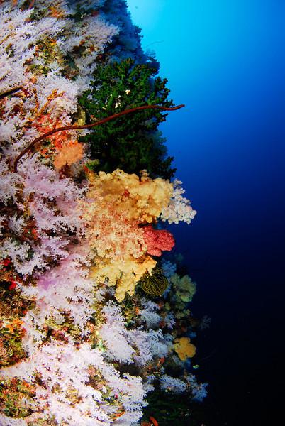 White wall, Rainbow Reef, Fiji.