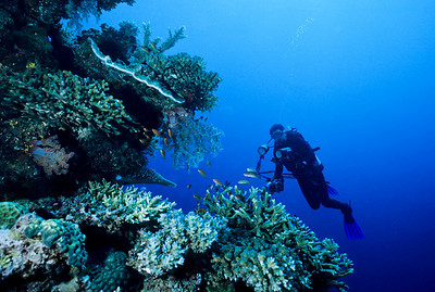 A diver explores a wall covered with healthy stands of hard corals. Fiji