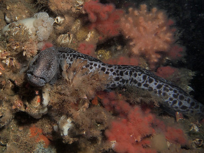 P4247161 - Juvenile wolf eel.    Please see link below for more wolf eel images and a link to a blog about this remarkable species http://jackiehildering.smugmug.com/Underwater/Wolf-eel/28042296_PhdSkN#!i=1193750444&k=GcLbcjh edit