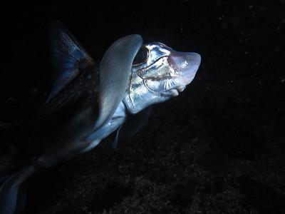 "IMG_5122 - Chimera aka ""ratfish"""