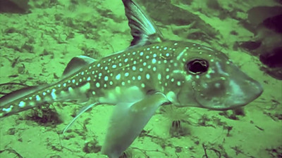 "Chimera aka ""Spotted Ratfish"""