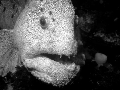 wolf fishDSC04545 - - mature male wolf eel