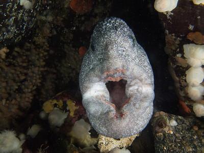 Yawning mature male wolf eel