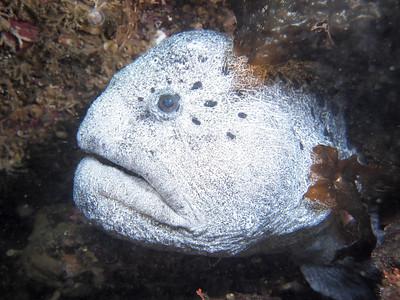 © 2012 Jackie Hildering-4140659 - - mature male wolf eel