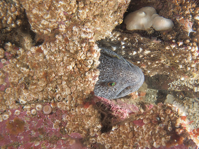 PA143104- Wolf eel
