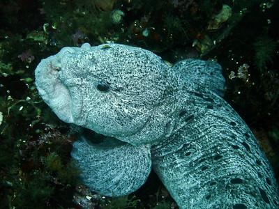 DSC02431- mature male wolf eel