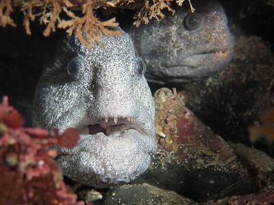 P2165858 - Mated pair of wolf eels.