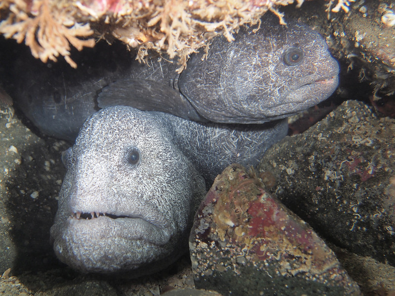 P2165869- Mated pair of wolf eels. - Please see link below for more wolf eel images and a link to a blog about this remarkable species http://jackiehildering.smugmug.com/Underwater/Wolf-eel/28042296_PhdSkN#!i=1193750444&k=GcLbcjh