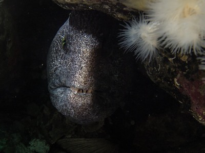 P4214359 - Female wolf eel
